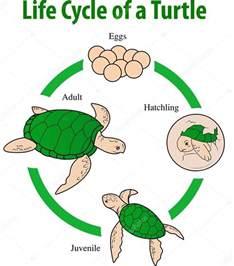 imagenes de ciclo de vida de la tortuga ciclo de vida de la tortuga vector de stock 129294296