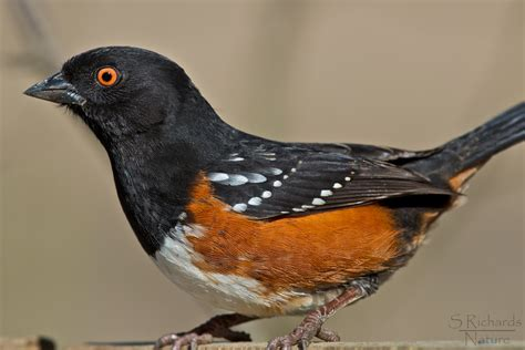 rufous sided towhee this towhee literally filled the