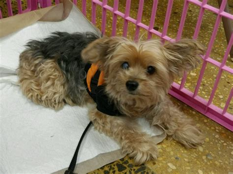 yorkie rescue groups bobby s web page