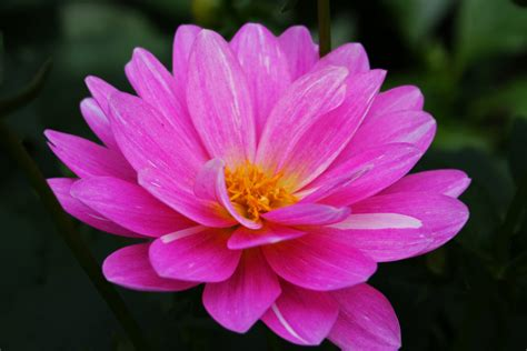 flowers photos file beautiful pink flower west virginia forestwander jpg