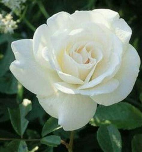 jual tanaman bunga mawar putih  lapak surgar bunga surga