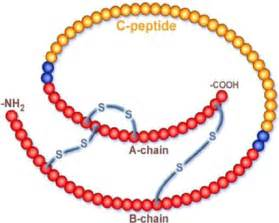Blindness And Diabetes Structure Of Pro Insulin Showing C Peptide And The A And B