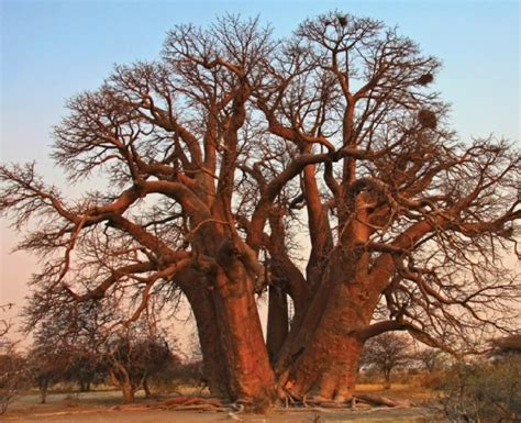 Benih Baobab Adansonia Digitata by Gambar Pohon Pohon Foto Pohon Gambar Tumbuhan