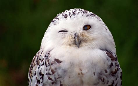 White Owl Meme - snowy owl wallpaper animal snowy owl wallpapers memes
