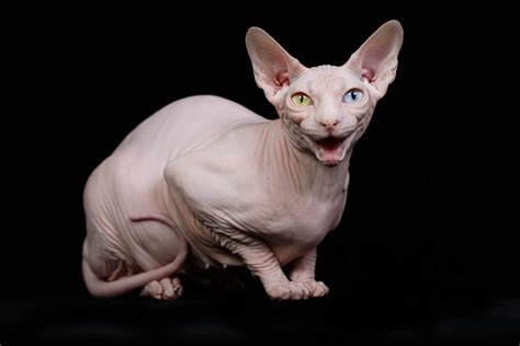 these bald sphynx kittens are the cat s whiskers for owner