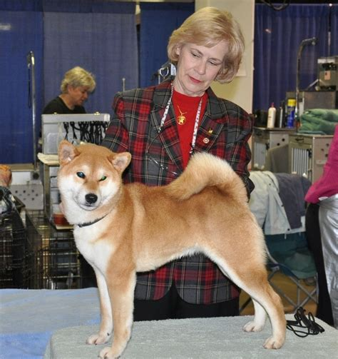 shiba inu puppies for sale in pa 25 best ideas about shiba inu for sale on shiba puppy shiba inu doge and
