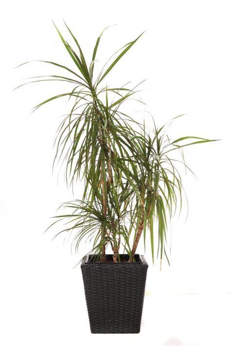 common tree like houseplants 5 to kill houseplants apartment therapy