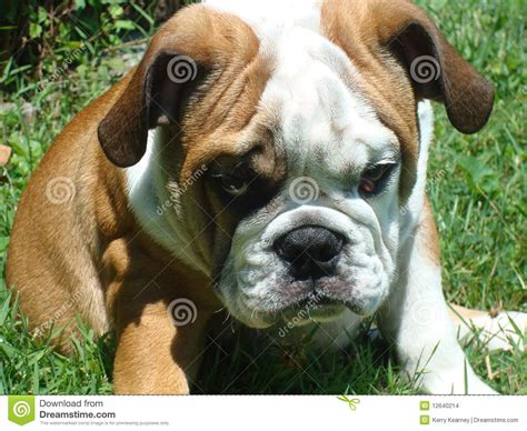 pouting puppy puppy pouting stock images image 12640214