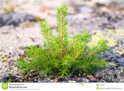 small pine tree royalty free stock photos image 4334258