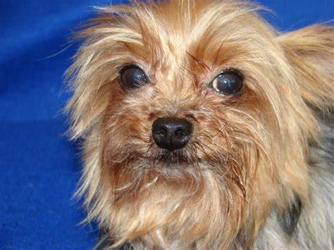 alpha yorkies fill out an adoption application for magnolia s puppies or for magnolia herself