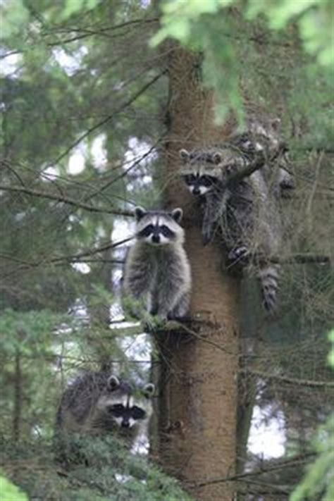 how to a coon to tree a raccoon 1000 images about coon on coon raccoons and