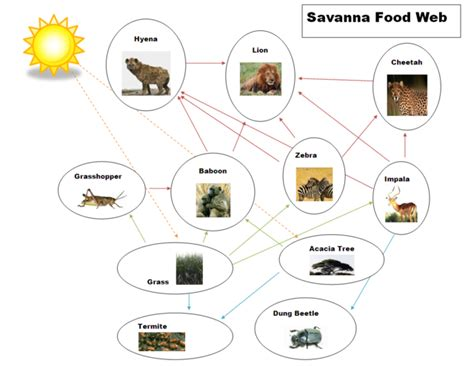 cheetah food chain diagram ecocheetah exles