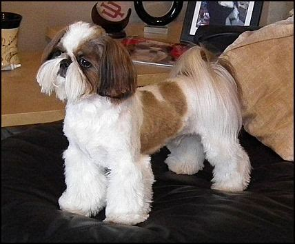 haircuts for shih tzus males male shih tzu haircuts styles pictures