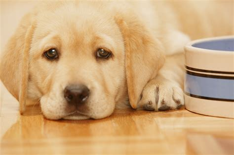 puppies pics how before puppies can start soft food care the daily puppy