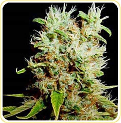 reclining buddha marijuana strains