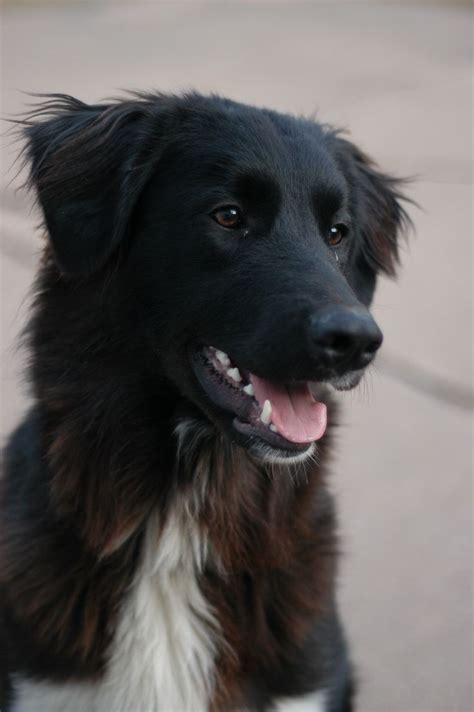great pyrenees black lab puppy my great pyrenees border collie mix great pyrenees