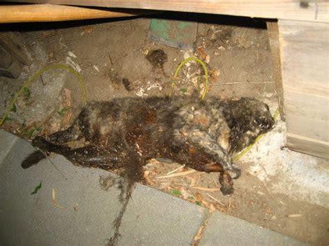 swing a dead cat lisovzmesy dead cat in road