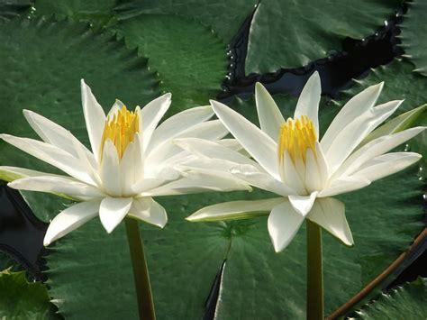 lotus tiger nymphaea lotus tiger lotus world of flowering plants