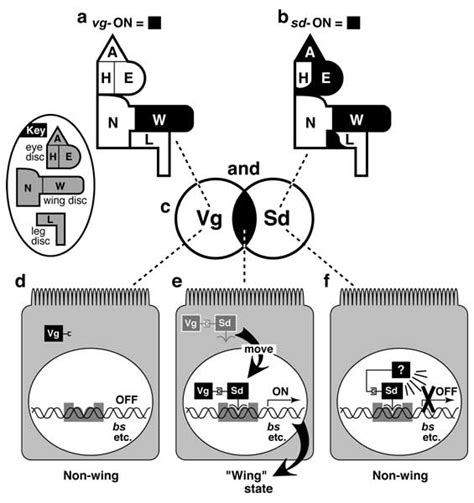 wg pattern formation in the absence of ush pnr is a transcriptional activator