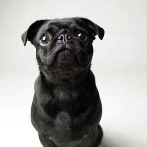 black pug checks 1000 images about black pugs on pug the pug and puppys