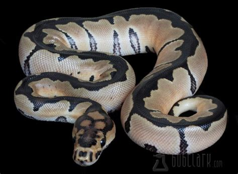 reduced pattern pastel ball python reduced pattern clown ball python snakes pinterest