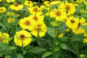 Fall Planting Garden - sneezeweed helenium autumnale plant care guide auntie dogma s garden spot