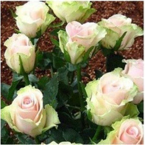 Berapa Bibit Bunga Mawar benih mawar