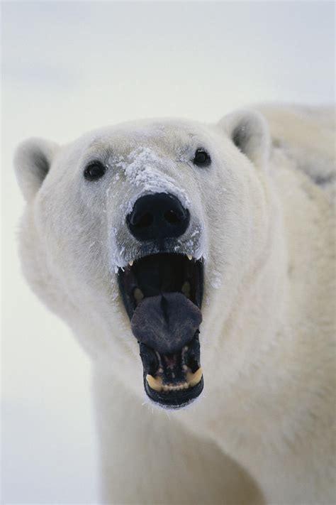 Duvet Clip Polar Bear With Open Mouth Cape Photograph By Takayuki Maekawa