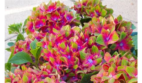 pair of glam rock hydrangea plants save up to 54