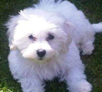 maltese bichon puppies is a bichon maltese mix the right for you