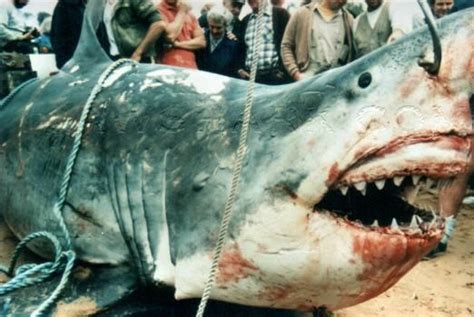 what is the largest great white shark ever recorded primer largest great white shark biggest great white shark