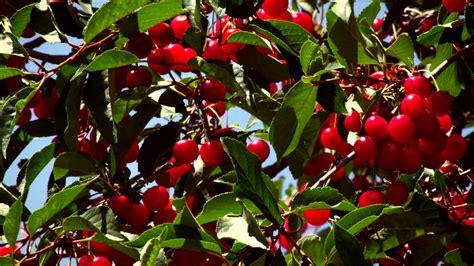 dawson v cherry tree machine up of cherries on cherry tree