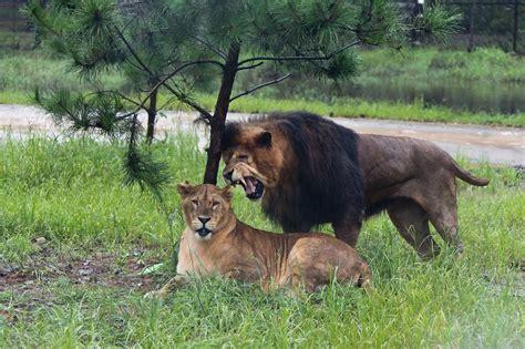 imagenes de leones reproduciendose imagenes de leones foto leones cachondos