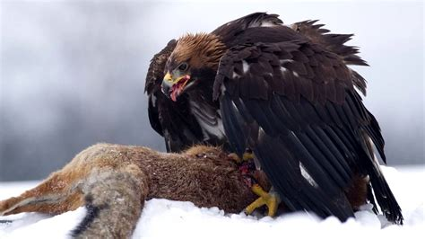 golden eagle sounds  pictures youtube