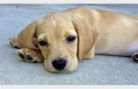cutest mixed breed puppies photos mixed breeds pictures petfinder breeds indian breeds picture