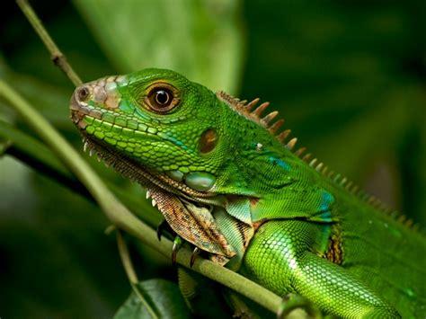 imagenes de iguanas rojas iguanas reptiles animales salvajes
