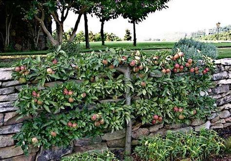 espalier apple tree gardens pinterest
