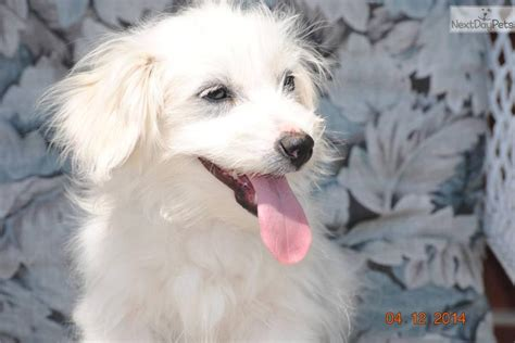 coton de tulear puppies for sale in nc coton de tulear puppy for sale near wilmington carolina 14ec21c8 8741