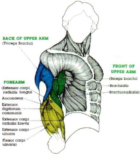 biceps diagram big bicep digram and large tricep diagram