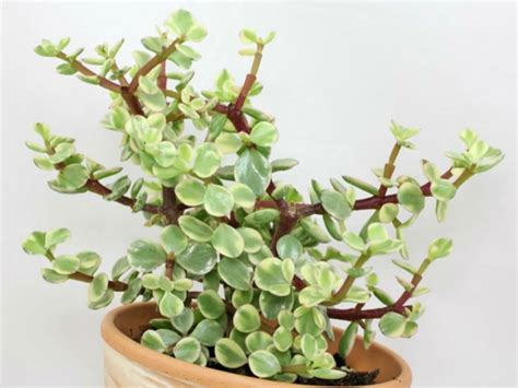 portulacaria afra f variegata rainbow bush world of succulents