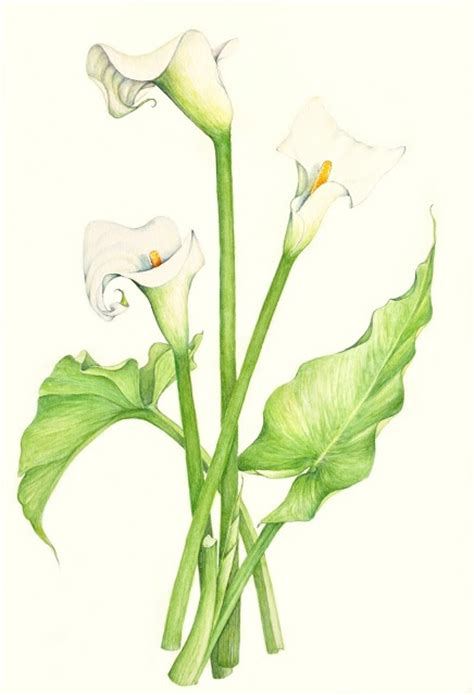 calla lilly flower log pinterest calla lillies