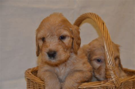 labradoodles puppies for sale hshire stunning f3 standard labradoodle puppies tarporley