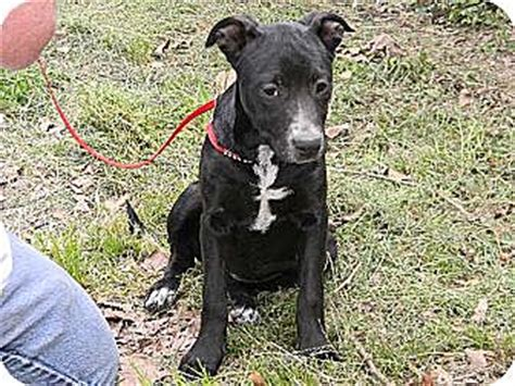 australian cattle lab mix baton la labrador retriever australian cattle mix meet dolly a for