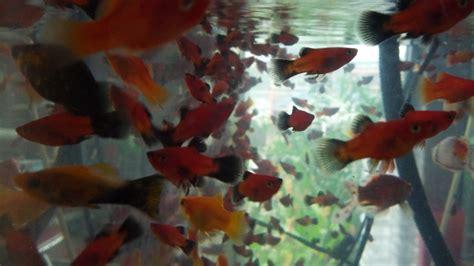 Lu Hias Kecil Warna Warni jenis jenis ikan hias air tawar alam tani