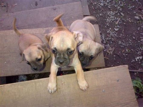 teacup chiweenie puppies sale up to 400 mix pug chiweenie puppies favorite breeds puppys and dogs