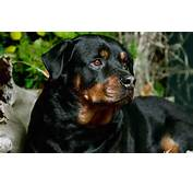 Rottweiler Beautiful