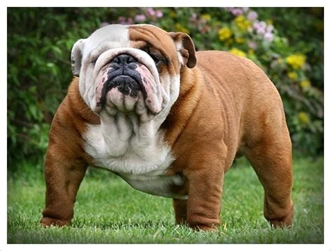 Bulldogs and Muscular American Pit Bull Terrier Dogs