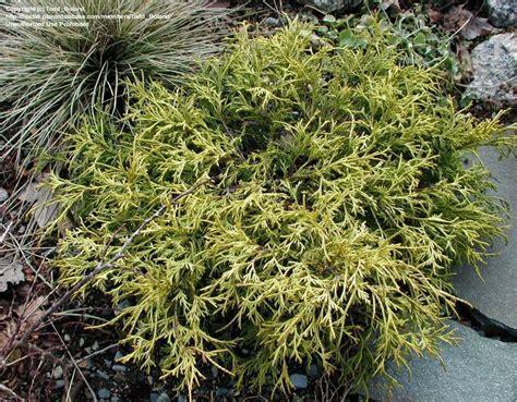 plantfiles pictures sawara false cypress boulevard cypress blue moss cypress sungold