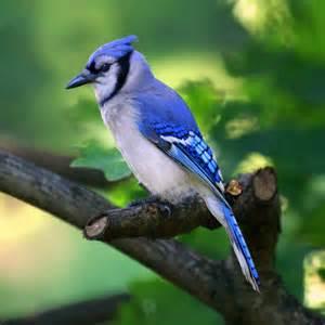 Blue jays nature s noisemakers irvingparkgardenclub s blog