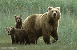 Animal Omnivore Grizzly Bear